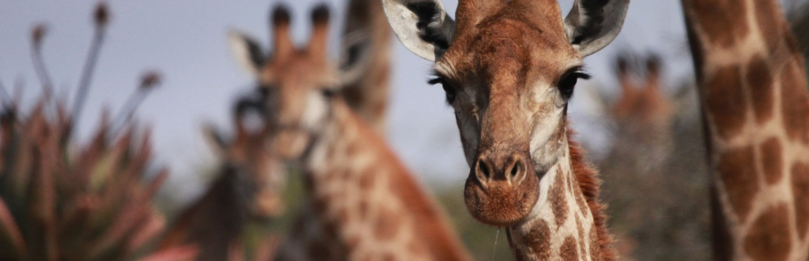 Close up colour photo of a group of Zingela's Giraffe