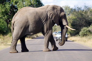 Elephant-crossing-the-road