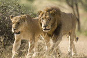 Male-&-Female-Lions