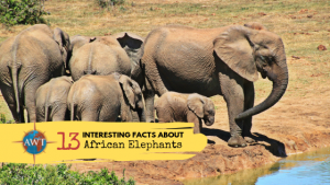 Image of a herd of African elephants going to drink