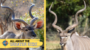 Split image with a Greater Kudu on either side with a yellow banner coming across from the bottom left side containing the title (All About The Greater Kudu) and the AWT logo.