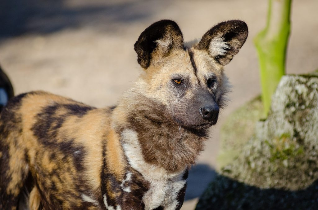 Photo of an African Painted Dog - Side View